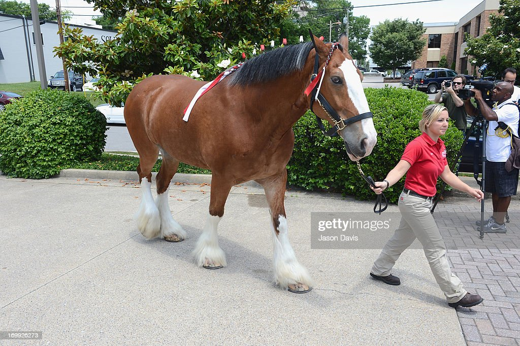 2013 CMA Music Festival - World Renowned Clydesdales Visit CMA Office : News Photo