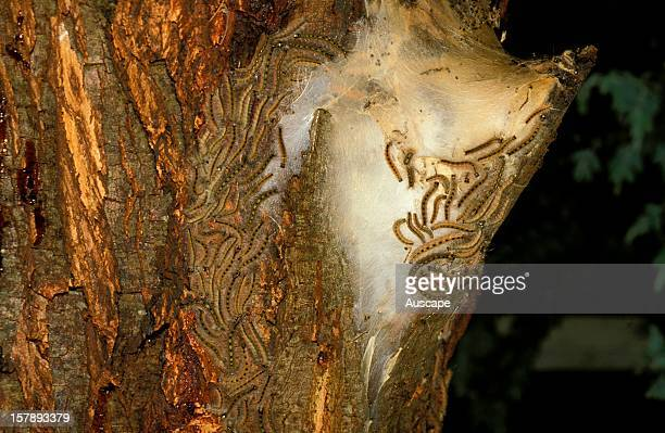Lewin's bagshelter moth bag shelter in fork of tree with larvae that are severe defoliators of eucalypts and other native Australian trees Southern...
