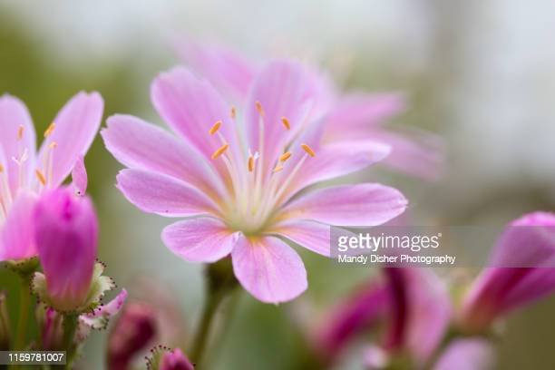 lewisia - mandy pritty stock pictures, royalty-free photos & images