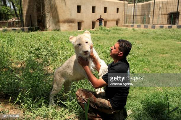 Leyth Tevfik an animal keeper plays with a white lion at Zevra Park's Zoo in Baghdad Iraq on May 22 2017 It is reported that the 10monthold white...