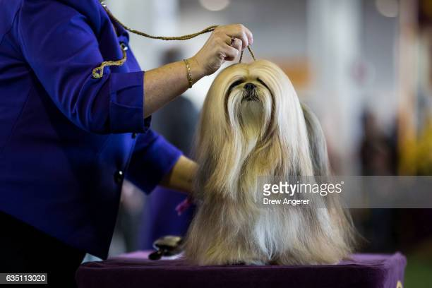 Lhasa Apso competes at the 141st Westminster Kennel Club Dog Show February 13 2017 in New York City There are 2874 dogs entered in this show with a...