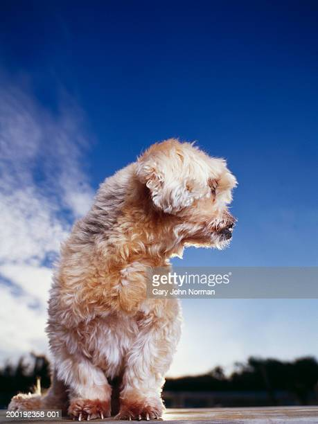 lhasa apso dog looking off to side - lhasa apso stock photos and pictures