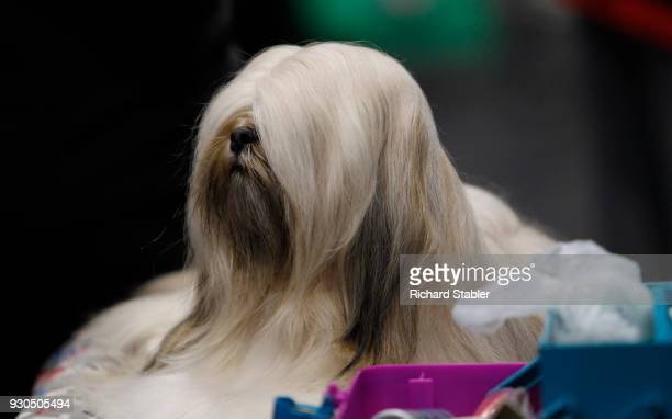 Lhasa Apso dog on day three of the Cruft's dog show at the NEC Arena on March 10, 2018 in Birmingham, England. The annual four-day event sees around...