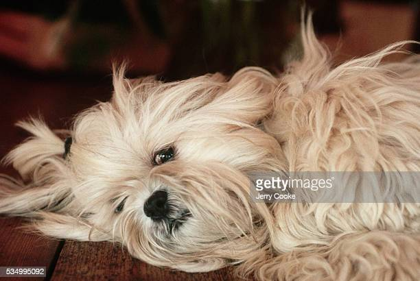 A Lhasa Apso dog whose breed is over 2000 years old and originated in Tibet lays on a wooden floor