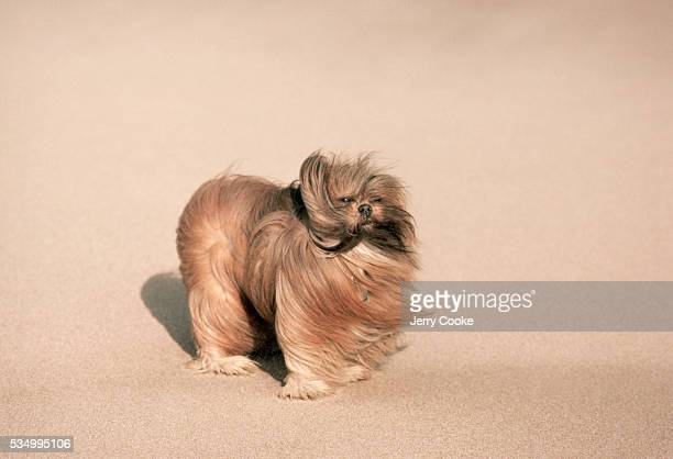 A Lhasa Apso dog whose breed is over 2000 years old and originated in Tibet stands on a sandy beach along the Atlantic Ocean