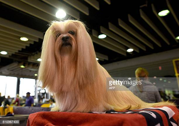 Lhasa Apso is groomed in the benching area February 15, 2016 in New York during the first day of competition at the Westminster Kennel Club 140th...