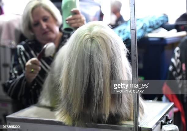 Lhasa Apso is groomed in the benching area on Day One of competition at the Westminster Kennel Club 142nd Annual Dog Show in New York on February 12,...