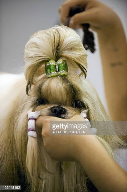 Lhasa Apso is prepared before a competition during the ExpoCan show, in Mexico City, on September 17, 2011. AFP PHOTO/Alfredo Estrella
