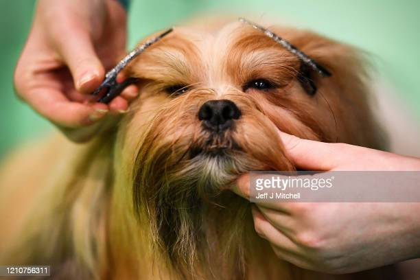 Lhasa Apso is prepared on day 2 of the Cruft's dog show at the NEC Arena on March 6 2020 in Birmingham England The annual fourday show will see...