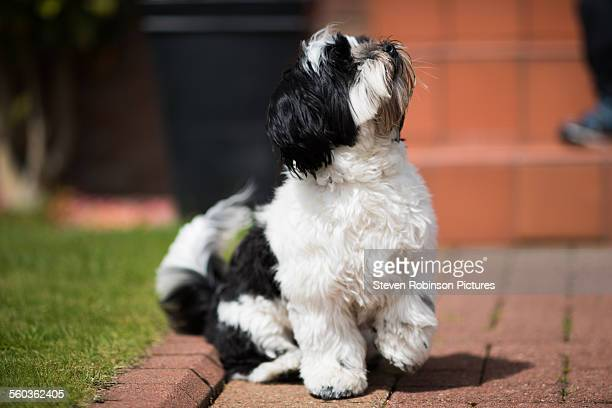 lhasa apso - lhasa apso stock photos and pictures