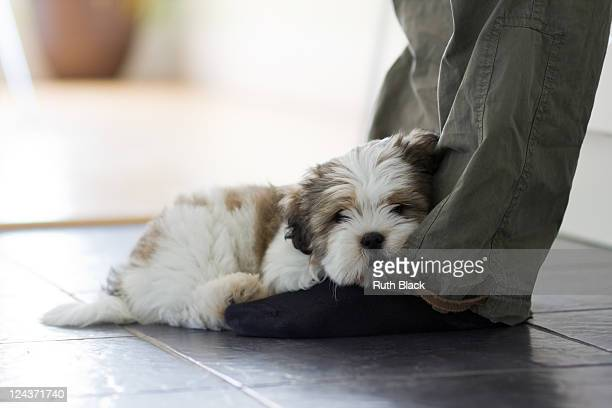 lhasa apso puppy - lhasa apso stock photos and pictures
