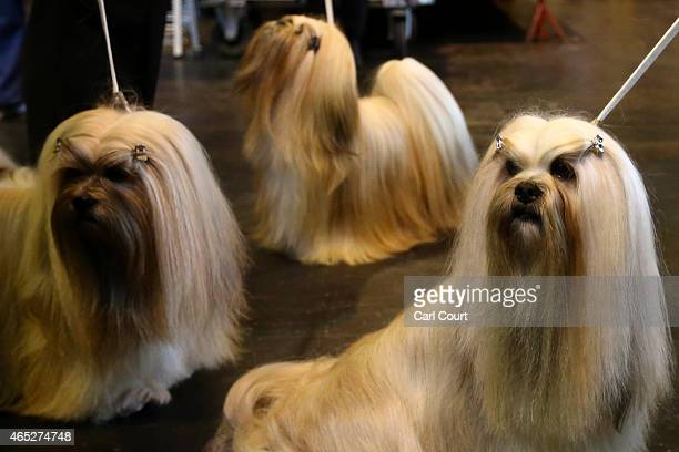 Lhasa Apso's are pictured on the first day of Crufts dog show at the National Exhibition Centre on March 5 2015 in Birmingham England First held in...
