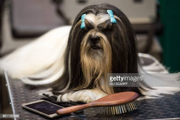 Lhasa Apsos dog wearing bows is pictured on the second day of the Crufts dog show at the National Exhibition Centre in Birmingham, central England,...