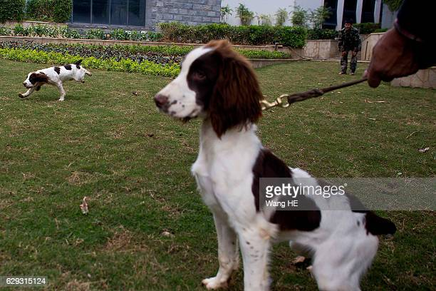 60 Top English Springer Spaniel Pictures, Photos and Images - Getty