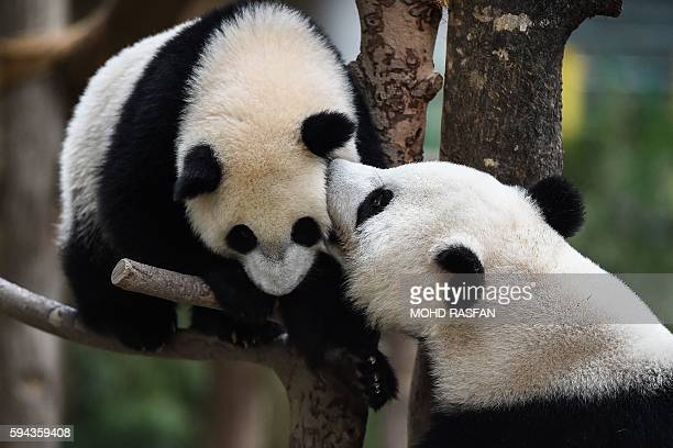 Liang Liang plays with her oneyearold female giant panda cub Nuan Nuan during joint birthday celebrations for the two pandas at the National Zoo in...