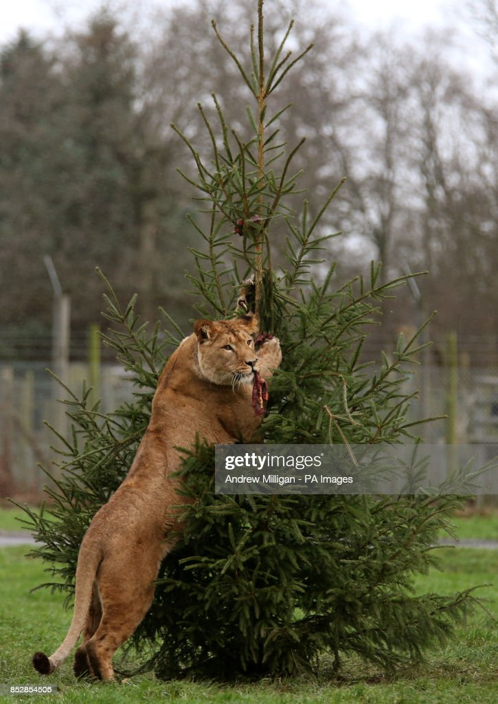 Libby, the young African Lioness, climbs a meat decorated Christmas tree in the lion enclosure at the Blair Drummond Safari Park.