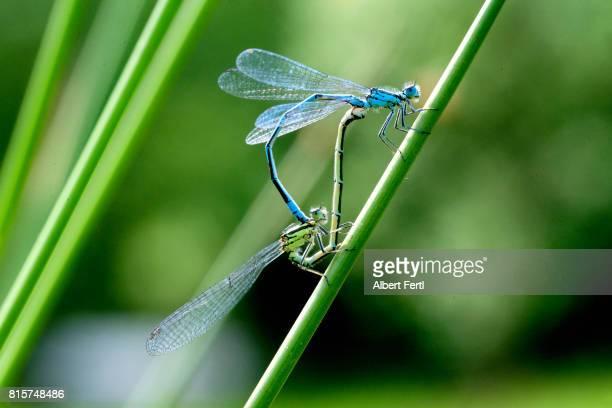 libellenpaarung - begattung kopulation paarung stock-fotos und bilder