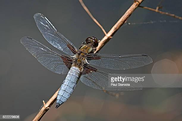 Libellula depressa (broad-bodied chaser) - male