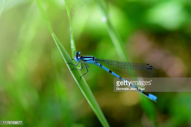 libellule bleu, portecoupe holarctique - ロイヤルブルー ストックフォトと画像
