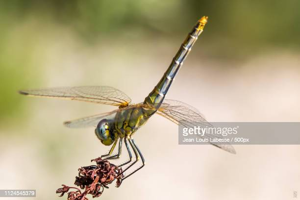 libellule - dragonfly - mayfly stock pictures, royalty-free photos & images