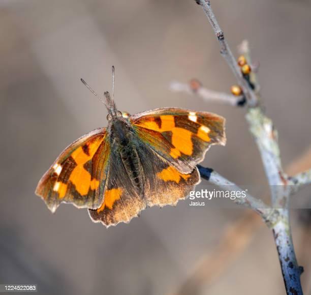libythea celtis – european beak butterfly - イラクサ ストックフォトと画像