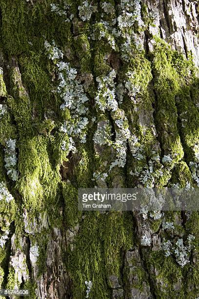 Lichen and moss covered tree bark Lake District England United Kingdom