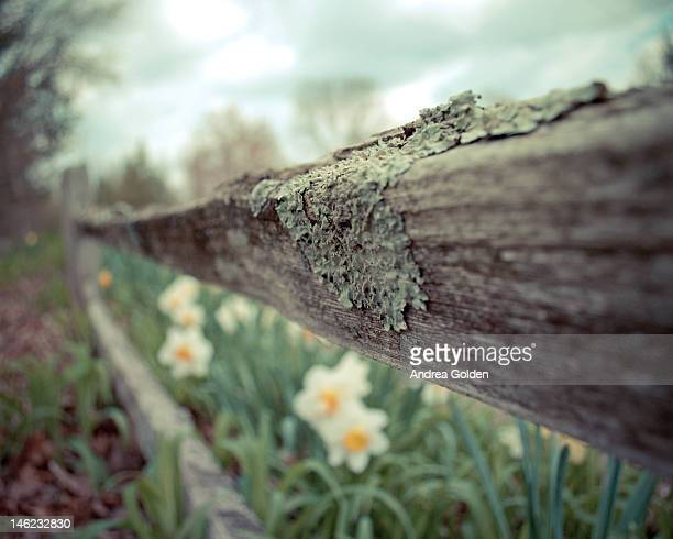 lichen covered fence and daffodils - bloomington indiana stock photos and pictures