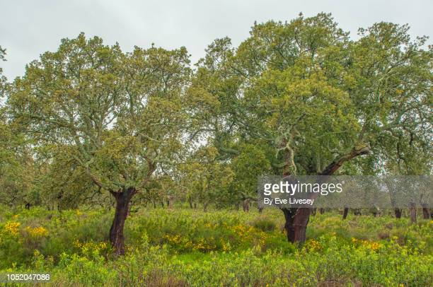 lichen covered trees - girdle stock pictures, royalty-free photos & images