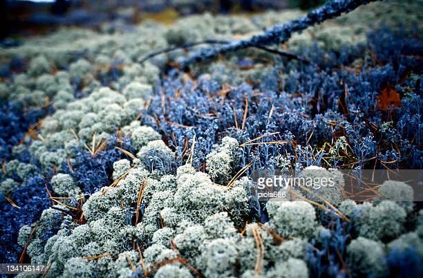 Lichen ground-cover