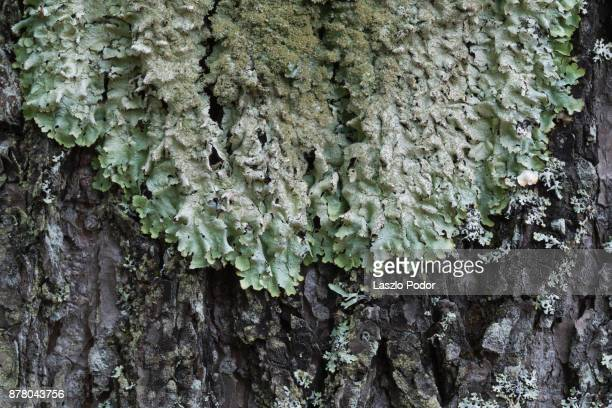 lichen growing on a tree trunk - hemlock tree stock pictures, royalty-free photos & images