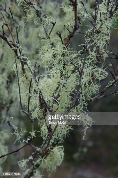 lichen growing on the branches of a bush near tura beach, new south wales, australia - parasite stock photos and pictures