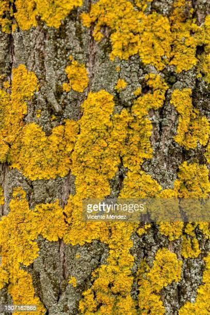 lichen on tree bark - vicente méndez fotografías e imágenes de stock