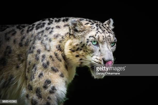 lickin' good - leopardo delle nevi foto e immagini stock