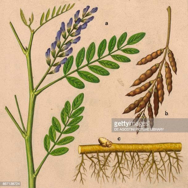 a flowering top b leguminous fruit c rhizomatous root drawing