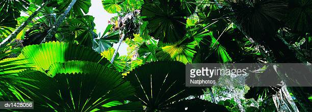 Licuala Palm Trees Growing in a Rainforest, Mission Beach, Wet Tropics, Queensland, Australia