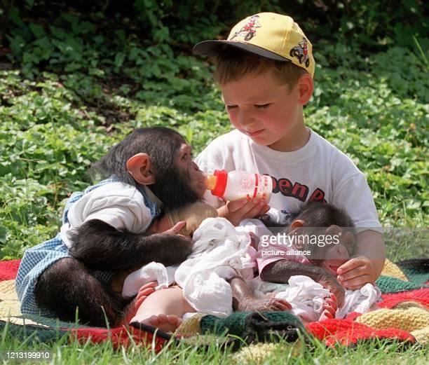 Liebevoll füttert der vierjährige Andre am 8.6.2000 im Schwabenpark im Welzheimer Wald die kleinen Schimpansen mit dem Fläschchen, und die genießen...