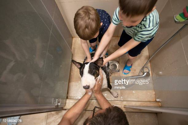 life during coronavirus isolation - bull terrier stock pictures, royalty-free photos & images