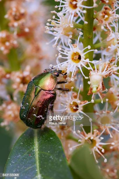 Life in garden, Rose Chafer (Cetonia aurata) on Cherry laurel (Prunus laurocerasus) blossom - Hesselberg region, Bavaria/Germany