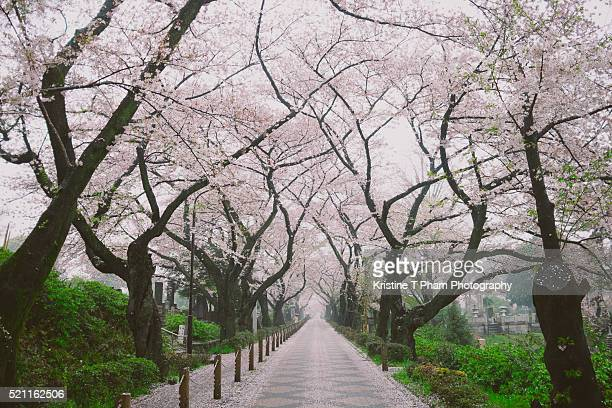 life is almost overwhelmingly beautiful but that is is also tragically short - hanami stock pictures, royalty-free photos & images