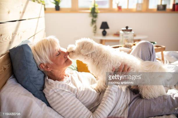 life is better with a pet - maltese dog stock pictures, royalty-free photos & images