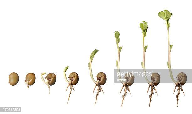 life of a bean - seed stock pictures, royalty-free photos & images