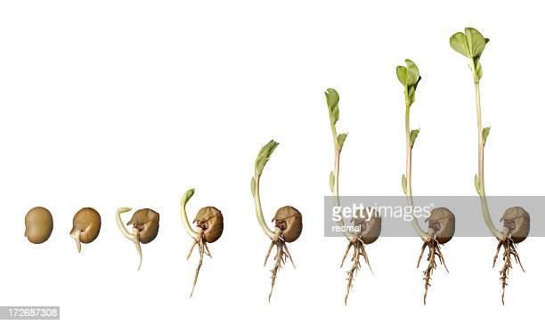 leben eines bean - pflanzensamen stock-fotos und bilder