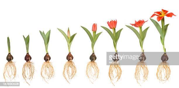Life of tulip