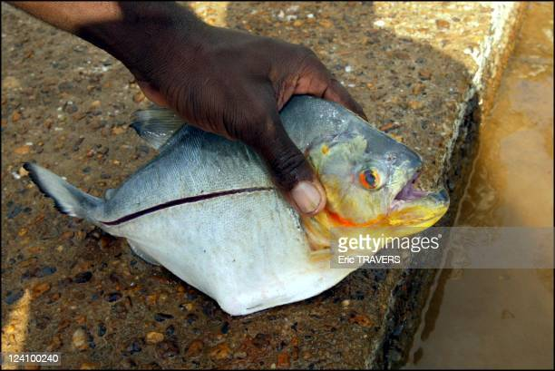 Life on the Maroni river In French Guiana On August 19 2002 Piranha of the Maroni river