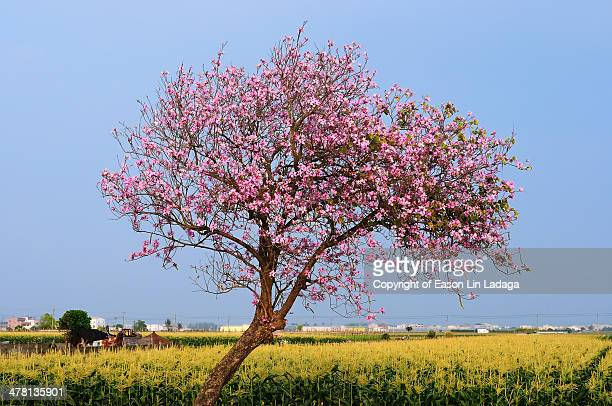 life - cherry tree stock photos and pictures