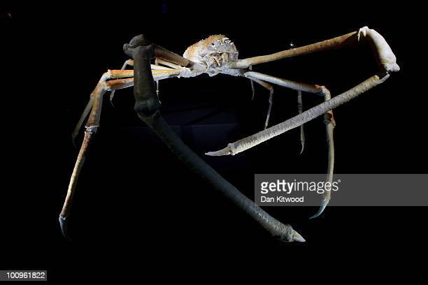 A life size Japanese Spider Crab is displyed at the Natural History Museum's new exhibition 'The Deep' on May 26 2010 in London England The crab is...