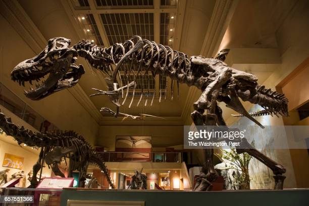 A life size replica of Tyrannosaurus rex Stan found in South Dakota in the 1980s is on display at the Dinosaur Hall at the Smithsonian Institute...