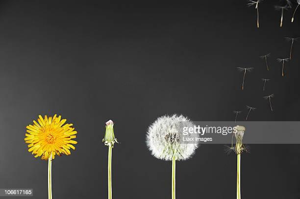 life span of dandelions - cambiamento foto e immagini stock