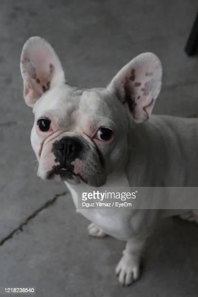 life style - boston terrier stock pictures, royalty-free photos & images