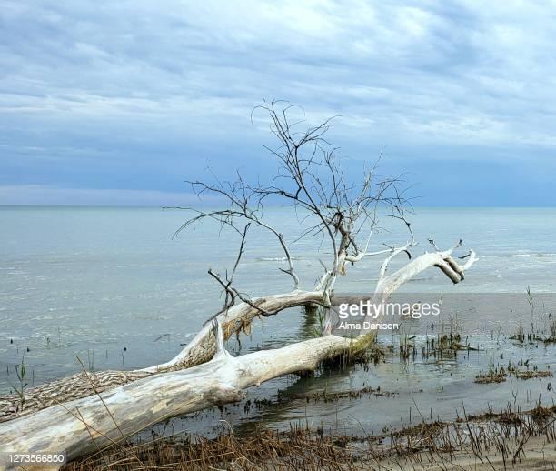 lifeless tree - alma danison stock pictures, royalty-free photos & images